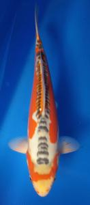 180-TT KOI malang -TT KOI malang susui 34 cm