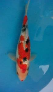 450-Hary tan-sbkc-sukahumi-ginrin-20cm