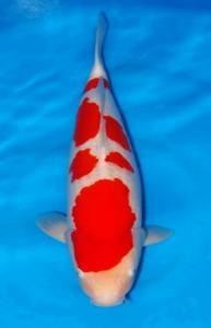 044-ZNA BOTABEK-Bekasi-Twin Koi-Garut-Kohaku-65 cm