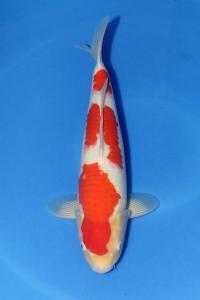 394-ZNA Botabek-Bekasi-Anay-Bekasi-Kohaku-43 cm