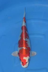 186-handoko-jakarta koi center-surabaya-hikarimoyomono-48cm F