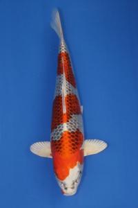 177-TT KOI malang -TT KOI malang kujaku 50 cm