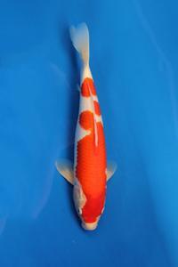 326-Nirwana koi Jkt-kohaku-37cm