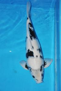 486-Adiest BeNC-anay-bekasi-shiro uthsuri-65cm-female