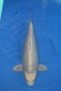185-handoko-jakarta koi center-surabaya-hikarimono-56cm F