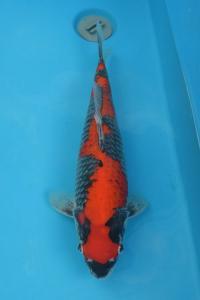 200-slamet kurniawan-jakarta koi center-jakarta-goshiki-45cm
