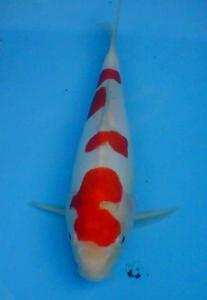 280-Nawir BENC - Depok - Kohaku Doitsu - 25cm
