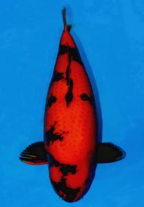 042-ZNA BOTABEK-Bekasi-Twin Koi-Garut-Hi Utsuri-73 cm