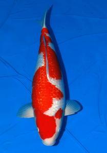 033-Dogama Jr.-Jakarta-Twin Koi-Garut-Kinginrin A-65 cm