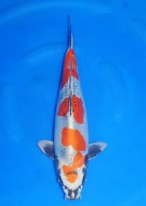 043-ZNA BOTABEK-Bekasi-Twin Koi-Garut-Kawarimono-54 cm