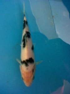 447-Hary tan-sbkc-sukabumi-beko-20cm