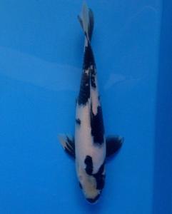 485-Beni H-jakata-FBkoi-Tangerang-shiro-35cm-male